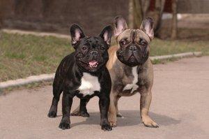 Photo of French Bulldog playmates