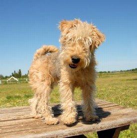 Meet the Outgoing Lakeland Terrier