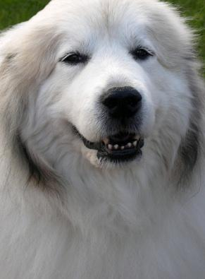 White great pyrenees dog