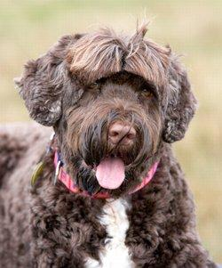 Spotlight on the Portuguese Water Dog