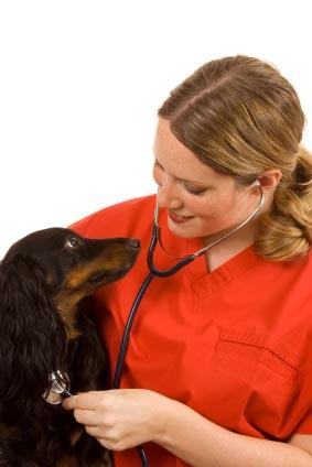 A vet examining a Dachshund