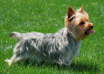 Yorkshire Terrier Rescue and Adoption Info