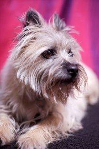Cairn Terrier Breed Facts