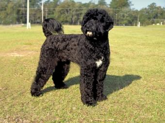 Interview: Bo the Portuguese Water Dog