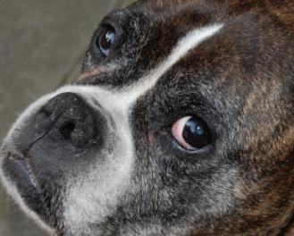 Understanding How Canine Heartworm Treatment Works