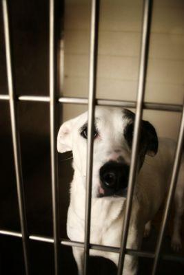Dog in a cage for heartworm treatment