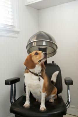 Beagle_Under_Hair_Dryer.jpg