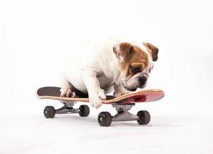 How to Train an English Bulldog to Ride a Skateboard