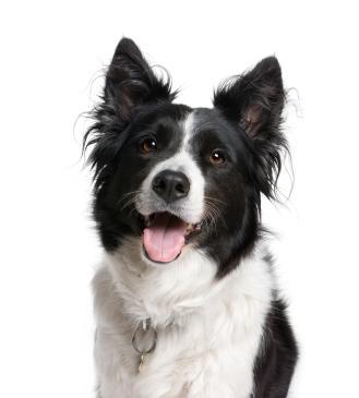 A List of the 10 Smartest Dog Breeds