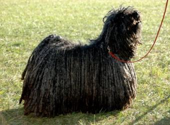 List of 17 Awesome Rare Dog Breeds