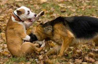 Cues That Tell If Dogs Are Playing or Fighting