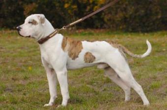 American Bulldog on leash
