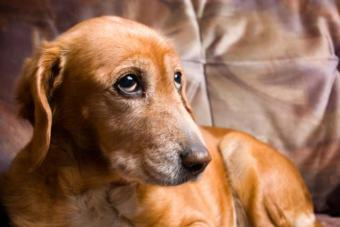 Canine Lymphoma Signs, Diagnosis and Treatments