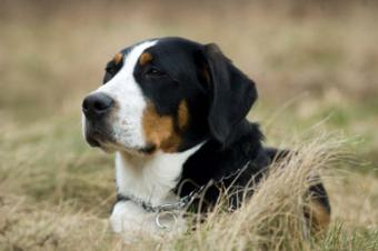 Greater Swiss Mountain Dog Breed Characteristics