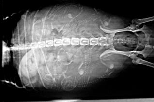 X-ray shows puppies in utero