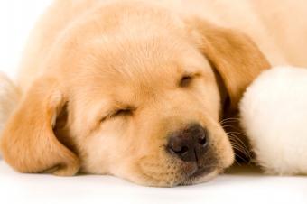 Sleepy Lab pup