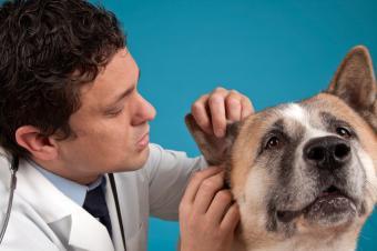 https://cf.ltkcdn.net/dogs/images/slide/90268-849x565-Ear-check-1.jpg
