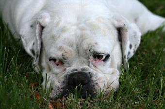 https://cf.ltkcdn.net/dogs/images/slide/90270-849x565-A-sick-Bulldog.jpg