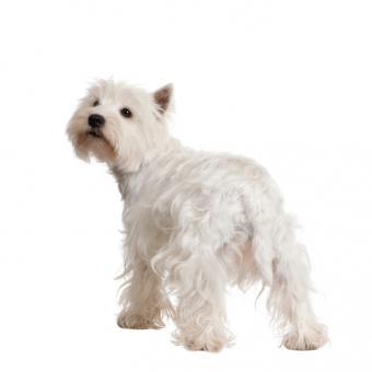 https://cf.ltkcdn.net/dogs/images/slide/90278-693x693-Tail-Tucking.jpg