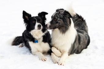 https://cf.ltkcdn.net/dogs/images/slide/90283-849x565-Flirting.jpg