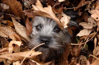 https://cf.ltkcdn.net/dogs/images/slide/90296-849x565-Cairn-fall.jpg
