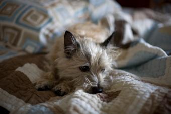 https://cf.ltkcdn.net/dogs/images/slide/90297-849x565-Cairn-in-bed.jpg