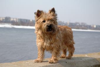 https://cf.ltkcdn.net/dogs/images/slide/90298-850x565-Cairn-by-the-river.jpg