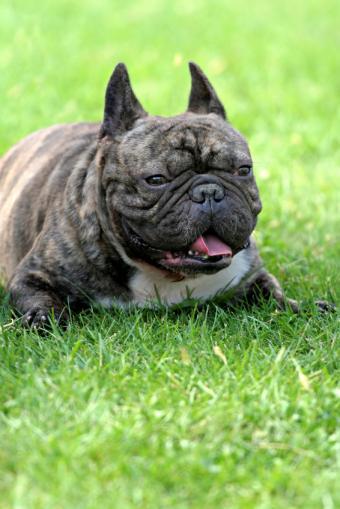 https://cf.ltkcdn.net/dogs/images/slide/90306-566x848-French-bulldog-5.jpg