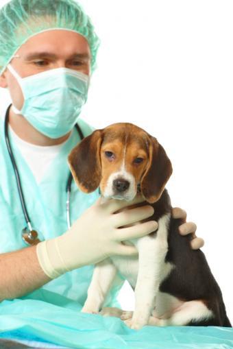 https://cf.ltkcdn.net/dogs/images/slide/90324-566x848-Vet-and-Beagle.jpg