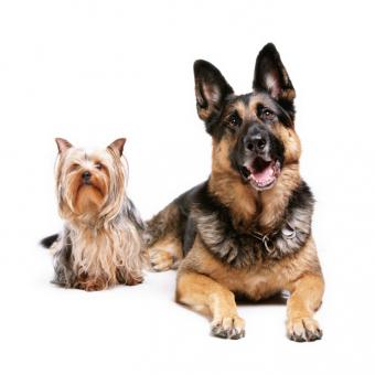 Recognizing Heartworm Symptoms in Dogs