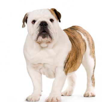 English Bulldog Pictures