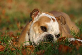 https://cf.ltkcdn.net/dogs/images/slide/90367-849x565-Bully-5.jpg