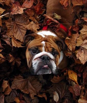 https://cf.ltkcdn.net/dogs/images/slide/90368-637x754-Bully-3.jpg