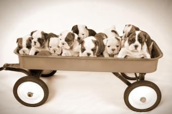 Wagon full of English Bulldog puppies