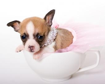 https://cf.ltkcdn.net/dogs/images/slide/90384-775x619-Teacup2.jpg