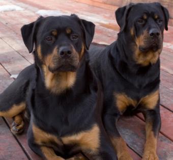 https://cf.ltkcdn.net/dogs/images/slide/90445-721x666-Rotties.jpg