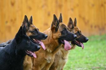 Four German Shepherds lined up in the backyard