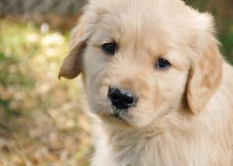 https://cf.ltkcdn.net/dogs/images/slide/90473-822x584-Golden_pup_closeup.jpg