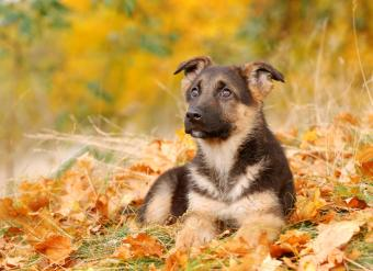 https://cf.ltkcdn.net/dogs/images/slide/90474-812x591-GSD_puppy.jpg