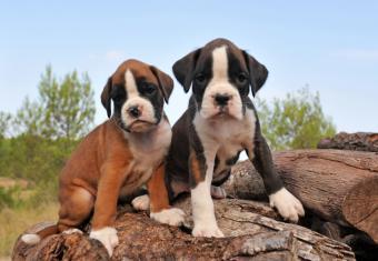 https://cf.ltkcdn.net/dogs/images/slide/90476-834x576-Boxer_babies.jpg