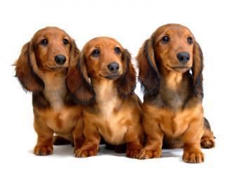 https://cf.ltkcdn.net/dogs/images/slide/90477-782x614-Doxie_pup_trio.jpg