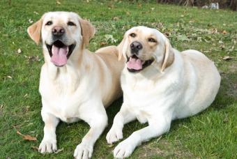 https://cf.ltkcdn.net/dogs/images/slide/90481-847x567-panting_puppies.JPG
