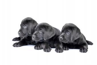 https://cf.ltkcdn.net/dogs/images/slide/90482-849x565-lab_puppies.JPG