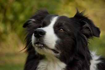 https://cf.ltkcdn.net/dogs/images/slide/90486-849x565-border_collie.JPG