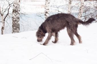 https://cf.ltkcdn.net/dogs/images/slide/90487-849x565-Irish_Wolfhound.JPG