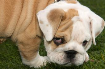 https://cf.ltkcdn.net/dogs/images/slide/90488-850x565-English_Bulldog_Puppy.JPG