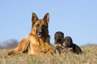 https://cf.ltkcdn.net/dogs/images/slide/90504-849x565-Protective_Mother.jpg