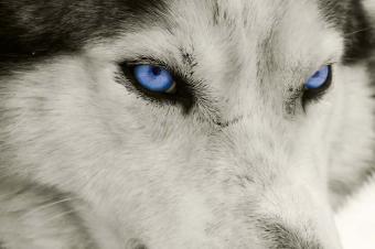 https://cf.ltkcdn.net/dogs/images/slide/90506-849x565-Blue_Eyed_Husky.jpg