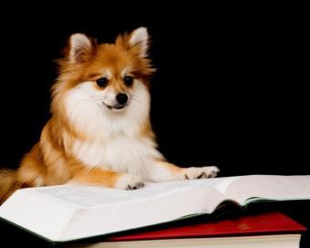 https://cf.ltkcdn.net/dogs/images/slide/90519-775x619-gigi-pomeranian-puppy.jpg