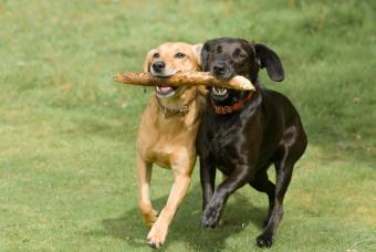https://cf.ltkcdn.net/dogs/images/slide/90529-847x567-black_yellow_lab.JPG
